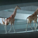 When a herd of giraffes paraded through a swimming pool, by animator Nicolas Deveaux